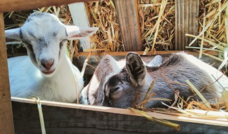 Two Nigerian Dwarf Goat kids