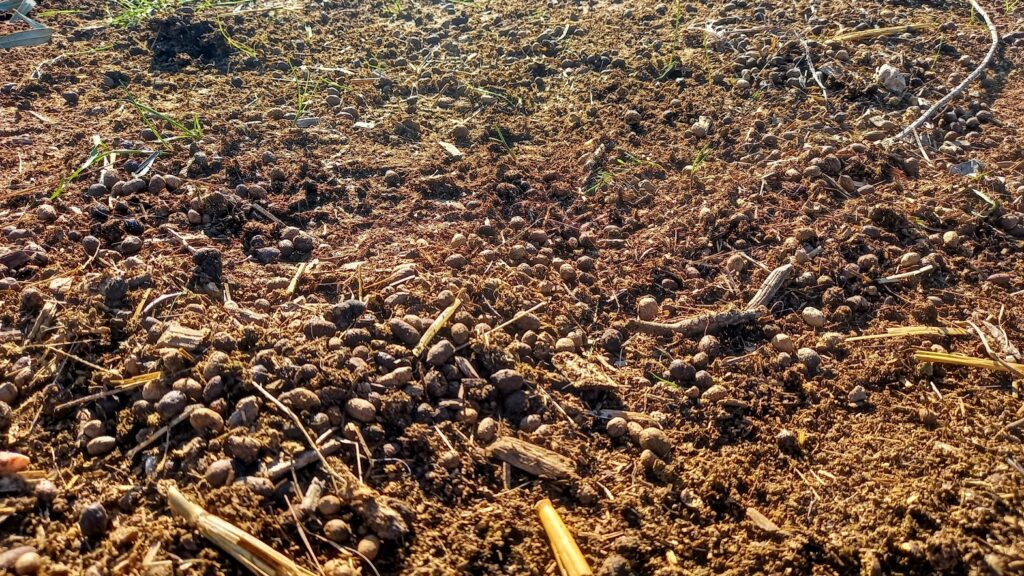 Goat manure, scattered on healthy looking soil